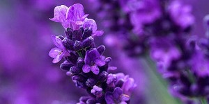 lavender-photo_0